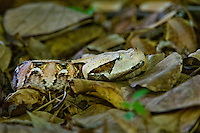 489250001 a captive gaboon viper bitis gabonica sits coiled in leaf litter species is a ground dwelling deadly viper it is the heaviest and has the longest fangs of any viperid and is native to western sub-saharan africa