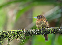 We saw a number of these rotund little birds in the jungle on this trip.
