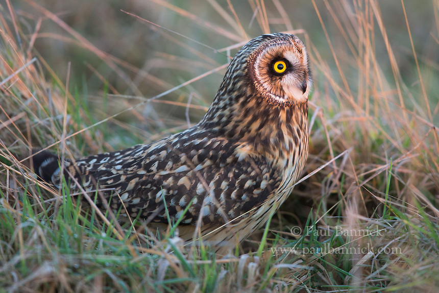 A short-eared owl faces the setting sun and prepares for an evening hunt.