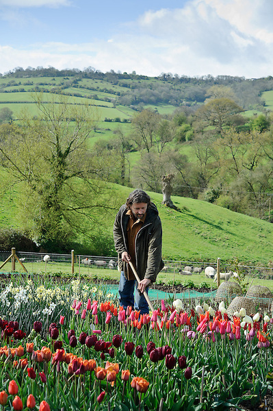 Dan hoeing weeds amongst Daffodils and Tulips