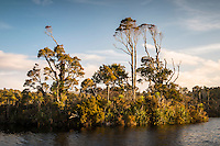 Native forest in Gillespies Lagoon, Westland National Park, West Coast, South Westland, New Zealand