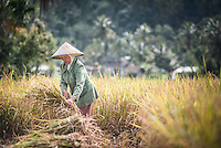 Farmers working in a rice paddy field, Bukittinggi, West Sumatra, Indonesia