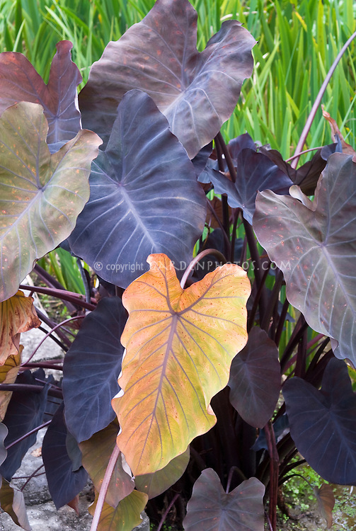 Colocasia esculenta Hawaiian Eyes, elephant ears