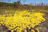 Scharfer Mauerpfeffer, wächst auf einem sandigen Trockenrasen, Sedum acre, Stonecrop
