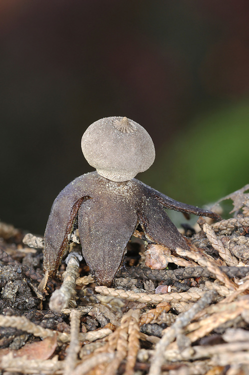 Field Earthstar - Geastrum campestre