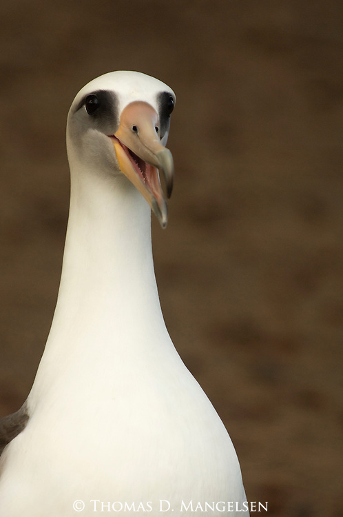 Portrait of a Laysan Albatross.