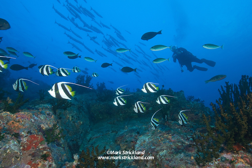 A diver cruises among schooling Bannerfish, Heniochus diphreutes, surgeonfish and barracuda at a site appropriately named Fish Rock. Passage Island, Andaman Islands, Andaman Sea, India