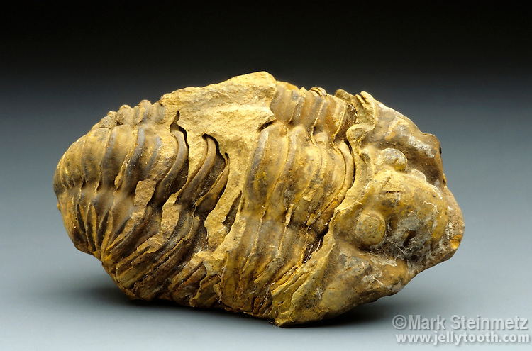 Trilobite fossil. Calymene sp. Silurian, approximately 400 million years old. Morocco. Once the most dominant life forms on earth, now extinct without any direct living descendants. The closest modern relation is the horseshoe crab.
