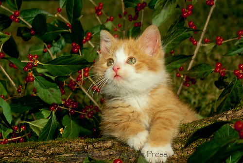 Yellow Tabby kitten looking adorable in front of holly bush