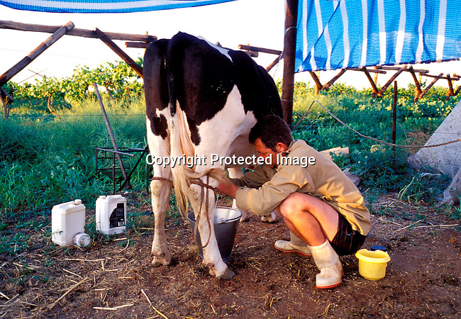 DIPOAFR00076.Culture Afrikaners Wynard Boshoff milking one of his two cows early in the morning . He lives in the all white town of Orania, South Africa, where no colored och black people are allowed. .Photo: Per-Anders Pettersson/ iAfrika Photos.