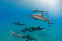 family portrait of spinner dolphins, Stenella longirostris, including six mother and calf pairs, one nursing, Hawaii ( Central Pacific Ocean )