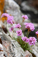 Sea pinks grow in profusion amongst the rock outcrops of the island