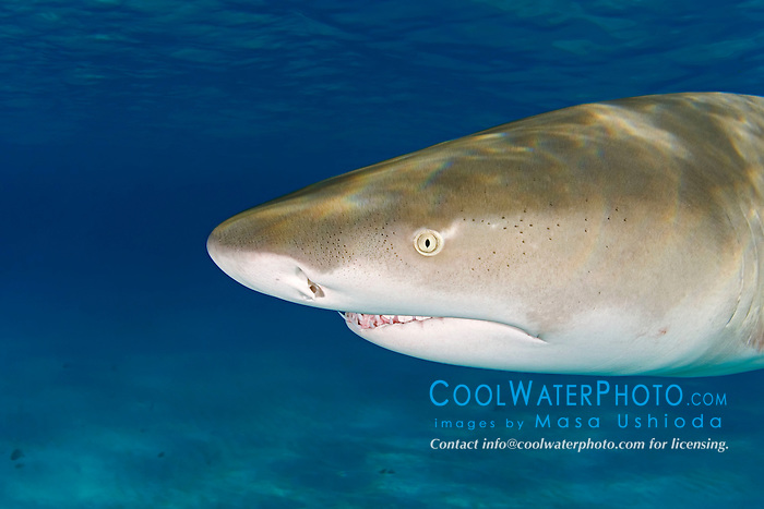 Lemon Shark, Negaprion brevirostris, showing Ampullae of Lorenzini, nostrils, eye, and teeth, West End, Grand Bahama, Atlantic Ocean