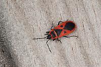 Feuerwanze, Mittelmeer-Feuerwanze, Scantius aegyptius, Lodosiana aegyptius, Feuerwanzen, Pyrrhocoridae, pyrrhocorid bug, Red Bug, Firebug, Korsika