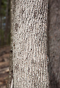 White Ash - Fraxinus americana - in the Sandown, New Hampshire Town Forest during the spring months
