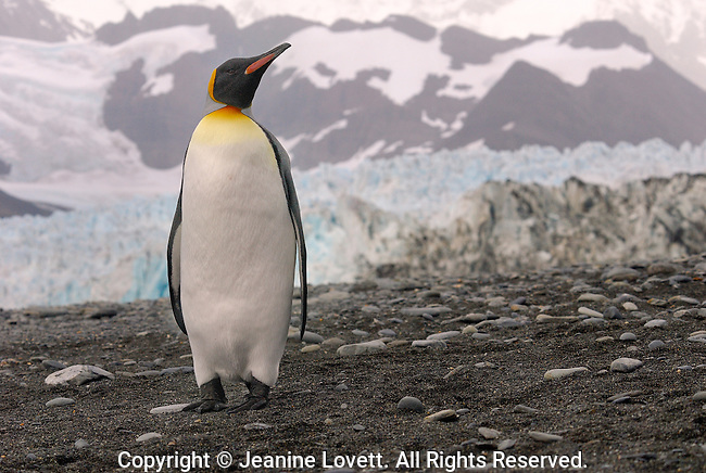 King Penguin on a gravel beach with Ross glacier in the background.