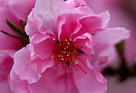 Ornamental peaches bloom on Friday, April 8, 2011, in Carson City, Nev..Photo by Cathleen Allison