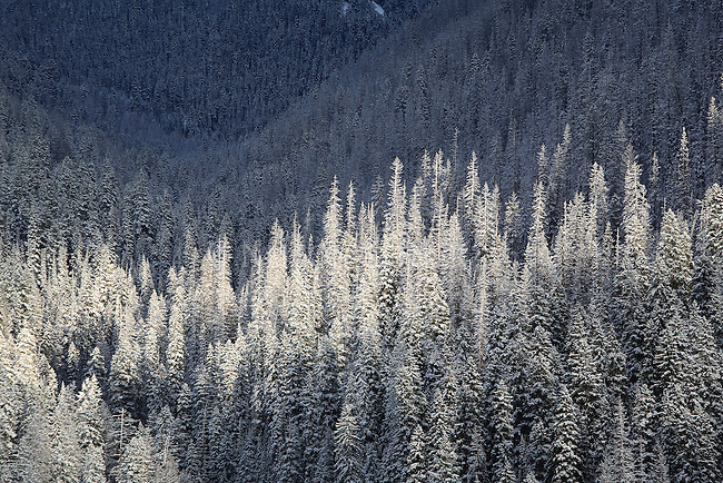 Snow covered trees in western Montana