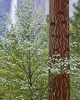 Yosemite National Park, Ca<br /> Flowering pacific dogwood (Cornus florida) against ponderosa pine trunk with Upper Yosemite Falls in the distance.