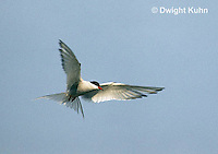 MC59-048z  Arctic Tern - flying above island - Machias Seal Island, Bay of Fundy - Sterna paradisaea