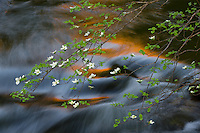 Mountain Dogwood (Cornus nuttallii) and Merced River in spring.