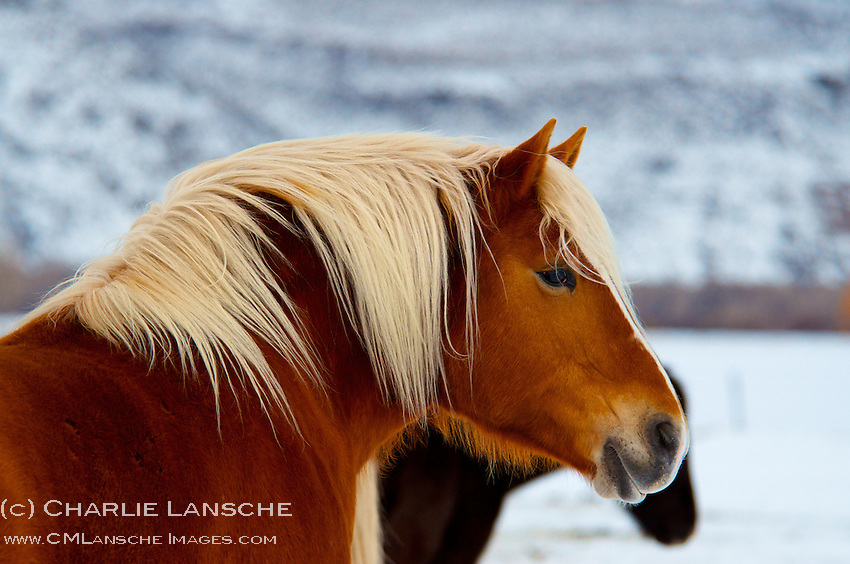The blond mane of this Summit County horse provides a striking contrast to a blustery January morning. Summit County, Utah.