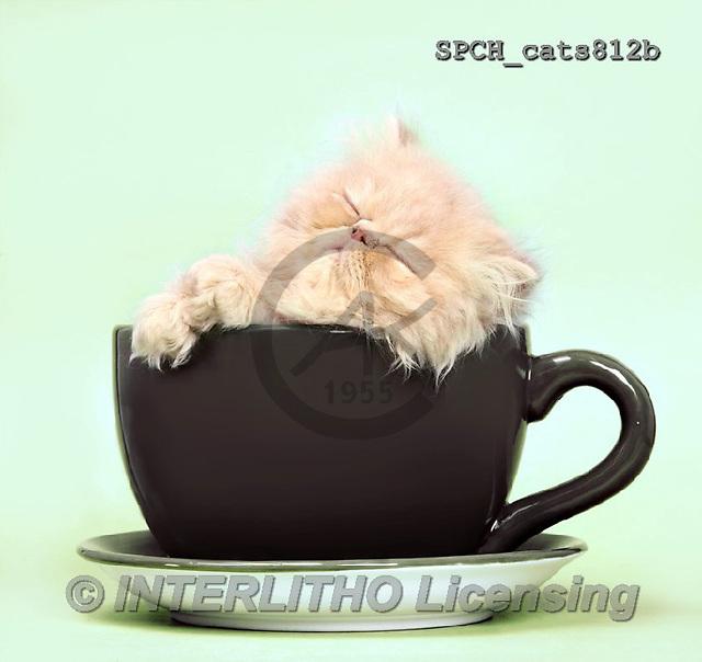 Xavier, ANIMALS, REALISTISCHE TIERE, ANIMALES REALISTICOS, cats, photos+++++,SPCHCATS812B,#A#
