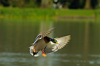Mallard Duck drake (Anas platyrhynchos) about to land on pond.  Pacific Northwest.  Winter.