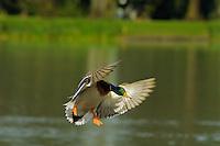 Mallard Duck drake (Anas platyrhynchos) about to land on pond.  Pacific Northwest.  Winter.