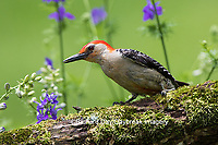 01196-03420 Red-bellied Woodpecker (Melanerpes carolinus) male in flower garden, Marion County, IL
