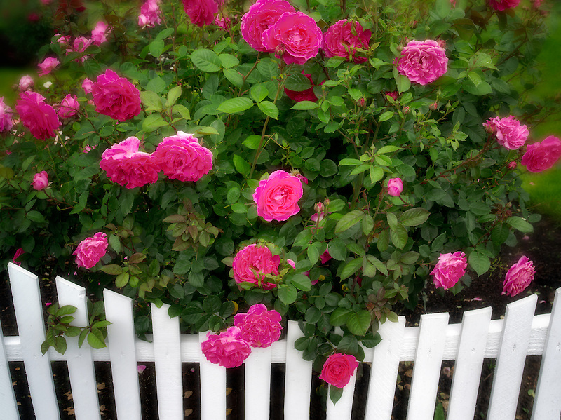 Roses growing near white picket fence. Heirloom Gardens. St. Paul, Oregon