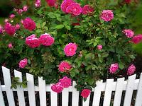Roses growing near white picket fence. Heirloom Gardens. St. Paul, Oregon