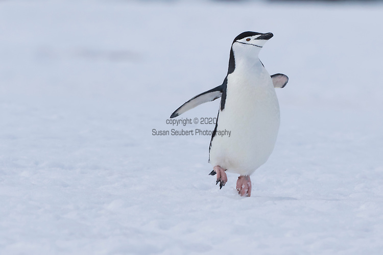 Chinstrap penguins on Half Moon Island, South Shetland Islands, Southern Ocean, Antarctica
