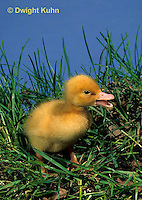 DG10-001x  Pekin Duck - two day old duckling exploring and chirping for mother