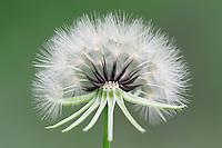 Texas dandelion, Desert-chicory (Pyrrhopappus pauciflorus), seed head or clock, Dinero, Lake Corpus Christi, South Texas, USA
