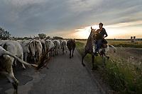 La mandria di bovini della famiglia Colantuono in cammino lungo l'antico tratturo che dalla puglia porta alle montagne di Frosolone in Molise..A cowboy leads the Colantuono family's herd along the road as they venture toward a cooler climate.