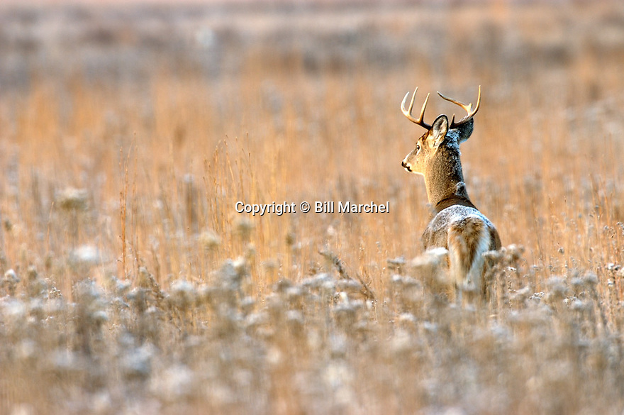 00274-304.05 White-tailed Deer Buck (DIGITAL) has frost on its back as it stand in goldenrod meadow on cold fall morning.  H2A1
