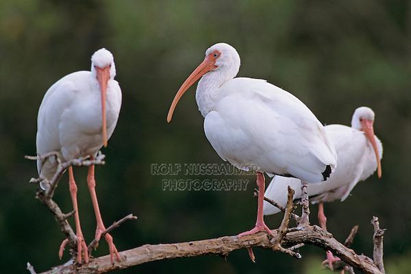 adults, Ding Darling National Wildlife Refuge, Sanibel Island, Florida, USA, Dezember 1998