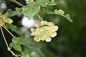 Field Maple - Acer campestre