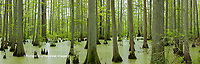 63895-14510 Bald Cypress trees (Taxodium distichum) Heron Pond Little Black Slough Johnson Co. IL