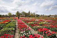 Hortus Bulborum in Limmen.  In de tuin staan meer dan 4000 soorten. De hortus, waarin voornamelijk tulpen staan, is in 1928 opgericht.