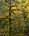 Silver Falls State Park, OR    <br /> Spreading moss covered big leaf maple (Acer macrophyllum) branches with fall leaves in the canyon of North Silver Creek