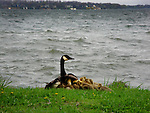 Mother goose protects her chicks.