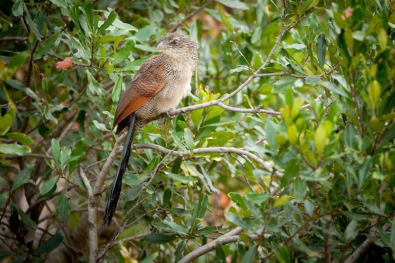 The most common of the coucals found across most of Kenya although less common, or absent from the more arid regions. A big bird with a striking plumage, it can nevertheless be difficult to see and photograph. Its habit of skulking in shrubbery, undergrowth and dense waterside vegetation means that it is heard crashing about, more often than it is seen. Once spotted however, it is easily identifiable..