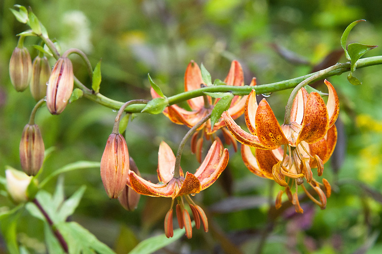 Lilium martagon 'Aspen Gold' (Turk's cap lily), mid May. The Laurent-Perrier Chatsworth Garden designed by Dan Perarson, RHS Chelsea Flower Show 2015.