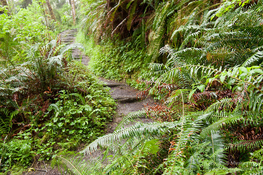 Prairie Creek Redwoods State Park, Orick, California; a path leading to the John Irvine Trail at the mouth of Home Creek in Fern Canyon