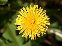Close-up of Dandelion flower head, (Taraxacum Officinale).It can be used to make dandelion wine, the greens are used in salads, the roots have been used to make a coffee like drink and the plant was used by Native Americans as a food and medicine.