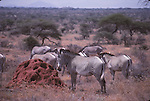 Grevy's zebras and termite mound in Samburu National Park