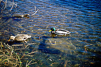 BIRDS<br /> Male &amp; Female Mallard Ducks<br /> Lake Tahoe, NV