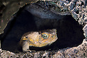 Cane toad in daytime retreat in hollow of tree, near Rockhampton, Queensland.